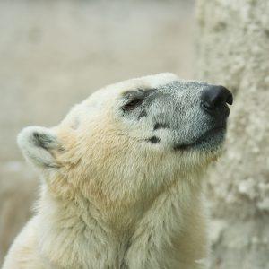 Polar Bear Portrait